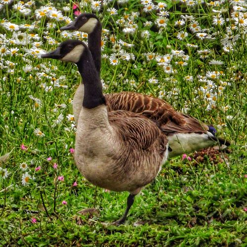 No edit done to this picture have you noticed two geese one leg Wildlife Wildlife & Nature Fujifilm Wildlife And Nature Malephotographerofthemonth Hdr_captures Creative Light And Shadow Color Photography Close-up Close Up Photography Nature Photography Birds Birds Of EyeEm  Geese Photography Birds_collection Balancing On One Leg Showcase June Nature And Wildlife By Tony Bayliss