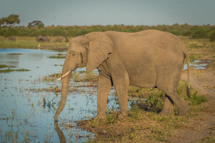 African elephant drinking water at waterhole