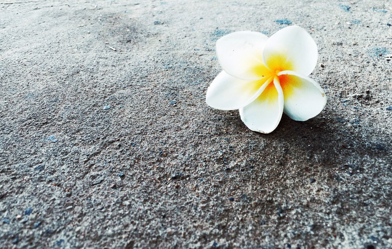 flower, petal, fragility, frangipani, flower head, high angle view, no people, close-up, day, nature, beauty in nature, freshness, outdoors