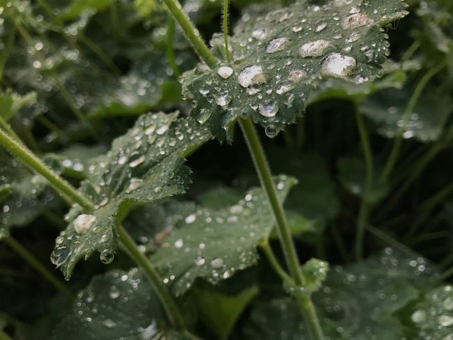 Drop Water Wet Nature Weather Leaf Droplet RainDrop Water Drop Plant Beauty In Nature Rainy Season Freshness Cold Temperature Growth Purity Close-up Fragility Day No People