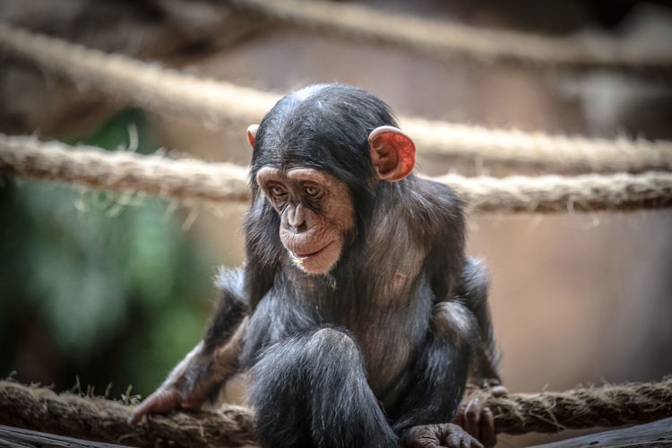 Cutey Primate Mammal Animal Wildlife Animals In The Wild Vertebrate Ape One Animal Focus On Foreground No People Sitting Zoo Day Animals In Captivity Young Animal Zoology Outdoors Chimpanzee Chimpanzees Baby Babies Babies Only Babies Of Eyeem Baby Animals Baby Animal Cute Animals