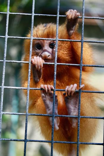 Baby monkey Mammal Primate Cage Animal Wildlife Animals In Captivity Vertebrate One Animal Metal Young Animal Zoo Portrait The Portraitist - 2018 EyeEm Awards