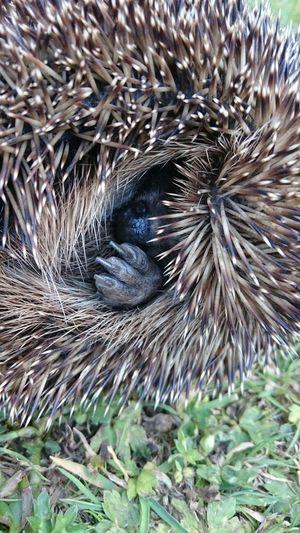 Hedgehog...