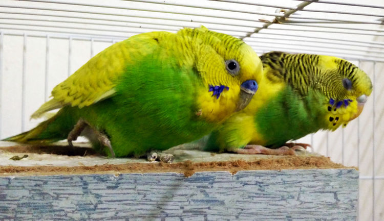Beautiful Birds Animal Themes Bird Budgerigar Cage Close-up Domestic Animals Nature No People Parrot Pets