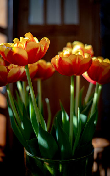 Close-up of orange tulips at home