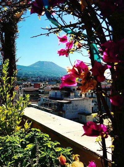 Vesuvio Flower