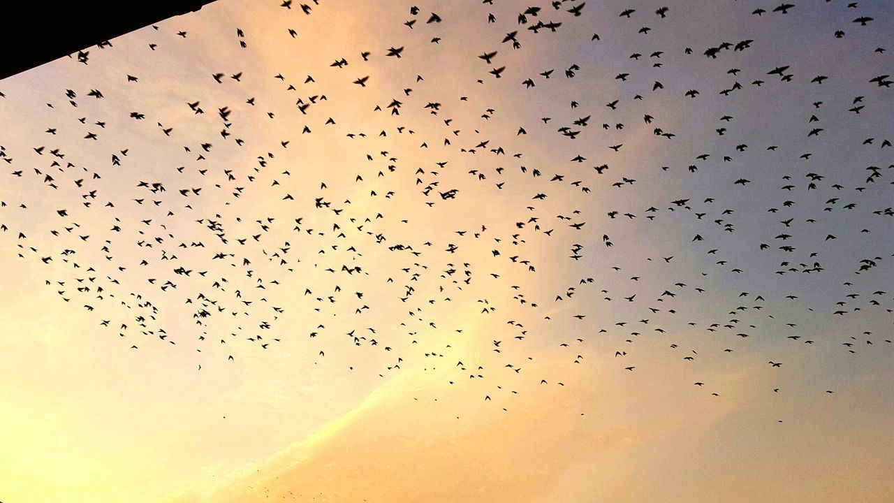 flying, large group of animals, flock of birds, bird, mid-air, animals in the wild, animal themes, animal wildlife, sunset, migrating, sky, no people, outdoors, nature