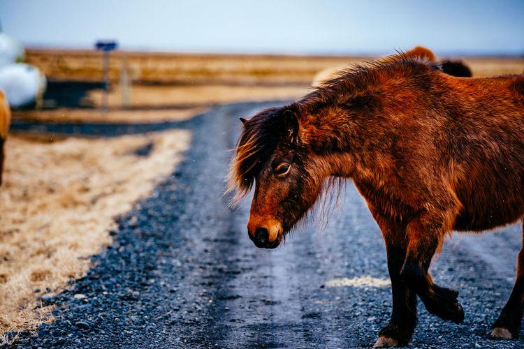 Brown horse walking on road