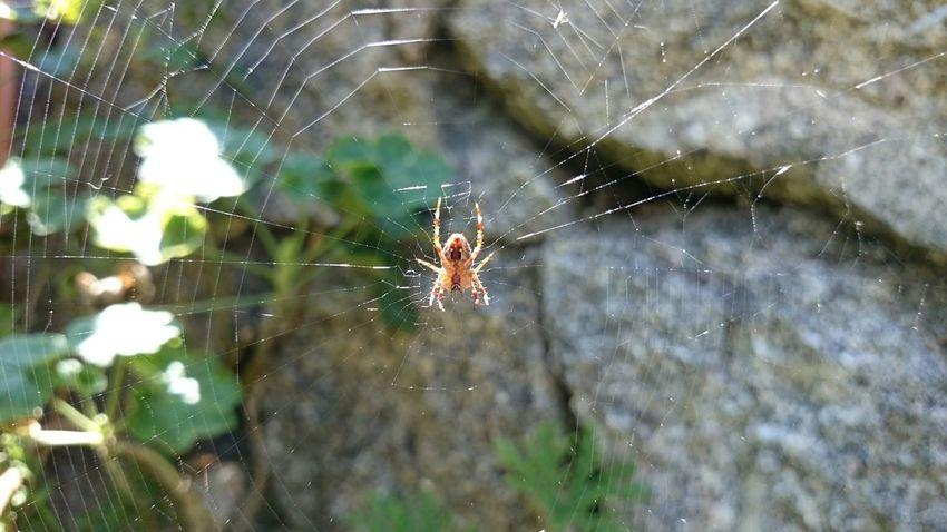 Spider Spiderweb Tela De Araña Araña