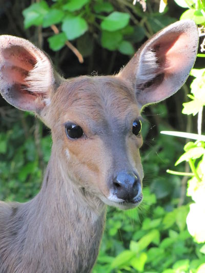 South Africa Storm River Mouth Duiker Close-up Portrait Animal Wildlife Looking At Camera Animal Themes Animal Wildlife Animals In The Wild Deer One Animal No People Fawn Nature Focus On Foreground Animal Head  Outdoors Herbivorous Mammal Vertebrate