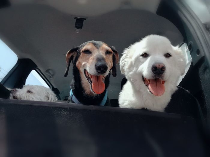 🌞 Very hot Looking At Camera Portrait Domestic Animals Day No People Animal Themes Mammal Pets Dog Three Dogs Very Hot Malteser Dog In The Car Dogs Vienna Dogs In Car Animal Photography Dogs Traveling Beautiful Dog Dogs Love Feelings Loyal Friend Animal Friend Pet Portraits