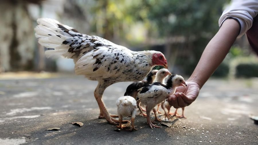 Full length of hand feeding chicken