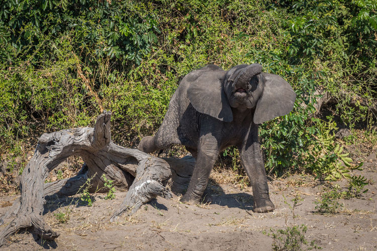 African elephant calf standing in forest