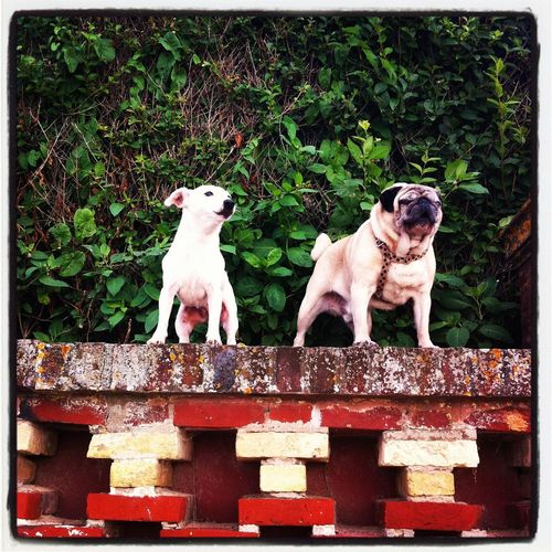 Les chiens des planches Animal Themes Auto Post Production Filter Barking Pink Color Sheperdsbush Standing Sur Les Planches Two Dogs