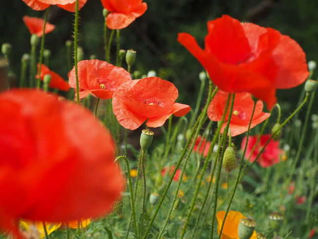 Olympus Poland Beauty In Nature Botanical Garden Close-up Field Flower Flower Head Flowering Plant Fragility Freshness Growth Inflorescence Krakow Land Nature No People Outdoors Petal Plant Poppy Red Spring Vulnerability
