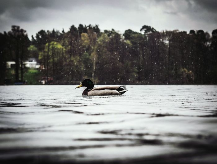 View of duck swimming in water