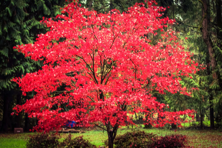 """Character is like a tree and reputation like a shadow. The shadow is what we think of it; the tree is the real thing."" Abraham Lincoln Accent Tree Beautiful, Uniquely Shaped Leaves Are Bright Red From Spring Until Fall Bright Crimson Fast Growth Iromomiji = Japanese Maple Japanese Maple Tree Mother Natures Fall Native To Japan Pacific Northwest Beauty The Great Outdoors - 2016 EyeEm Awards Tranquility Weeping, Elegant, Cold, Hardy"