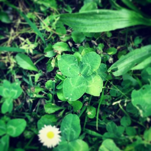 ?♡ Quadrifoglio Green Portafortuna Luckyday four-leafclover parco @ale_detto_katu