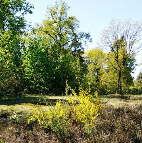 Broom Flowers Broom Plantsorry not gorse! gorse has prickles Springtime In The Woods Stiphout Woods Stiphoutse Bossen Nature Sunshine Plants Flowers Heath
