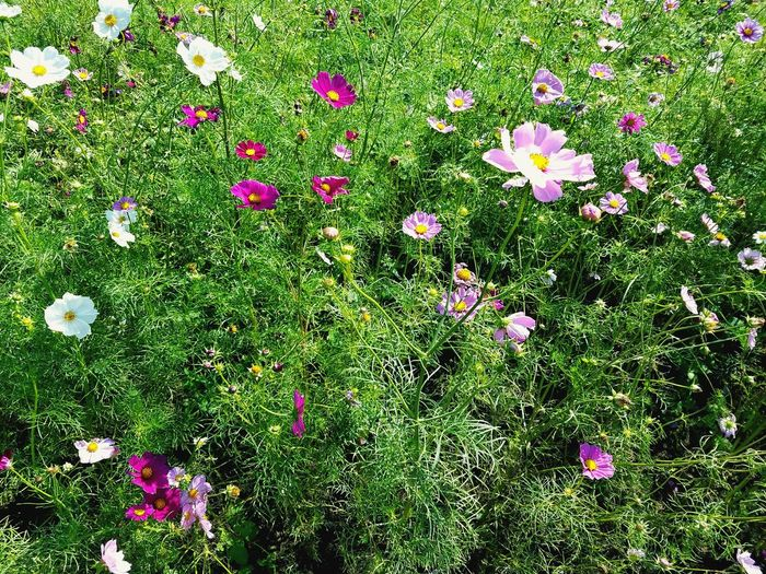 Flower Nature Grass Field Outdoors Backgrounds No People Plant Flower Head Growth Day Season  Environment Autuman Cosmos Flowers Cosmos