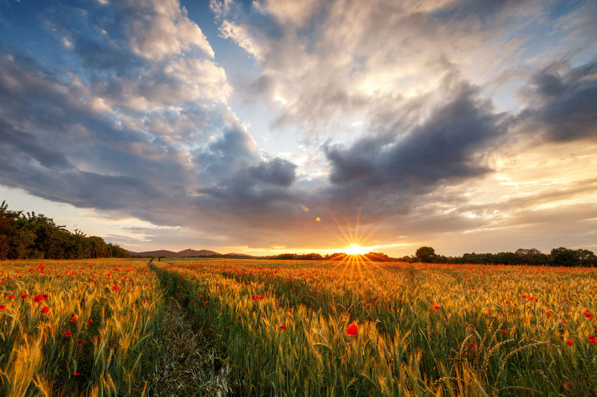 summer vibes Agriculture Beauty In Nature Bright Cloud - Sky Crop  Environment Field Growth Harz Idyllic Land Landscape Lens Flare Nature Outdoors Plant Poppy Flowers Rural Scene Scenics - Nature Sky Sun Sunlight Sunset Tranquil Scene Tranquility