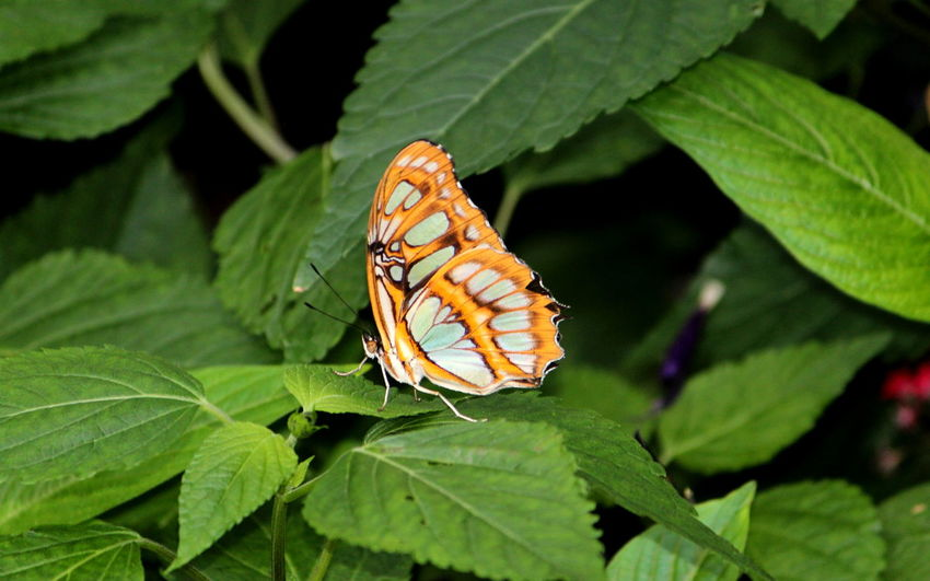 Animal Animal Themes Animal Wildlife Animal Wing Animals In The Wild Beauty In Nature Butterfly - Insect Close-up Day Flower Focus On Foreground Green Color Growth Insect Invertebrate Leaf Nature No People One Animal Outdoors Plant Plant Part