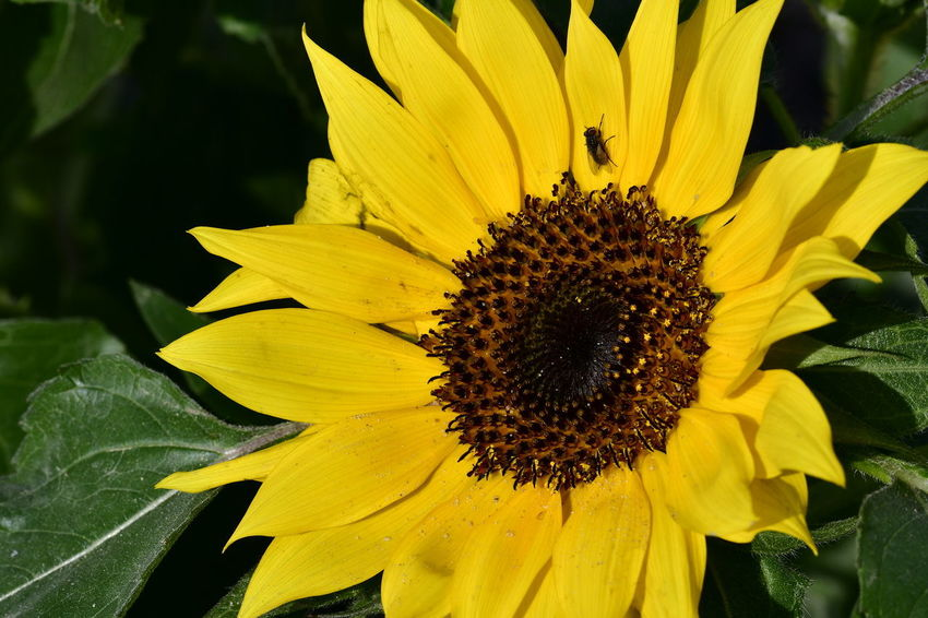 sunflowers with a fly on EyeEm Best Shots EyeEm Nature Lover EyeEm Selects EyeEm Gallery EyeEmNewHere Sunflower Beauty In Nature Close-up Day Flower Flower Head Fragility Freshness Growth Hoverfly Hoverfly On Flower Nature No People Outdoors Petal Plant Pollen Sunflowers Sunflowers🌻 Yellow