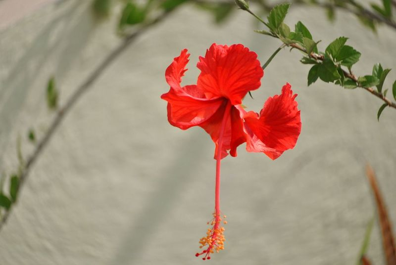 Flower Red Close-up Nature Plant Flower Head Fragility Beauty In Nature No People Tranquility Outdoors Freshness Day Hibiscus Flower