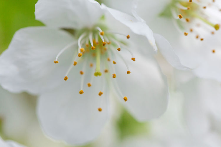 Close-up of white apple blossoms