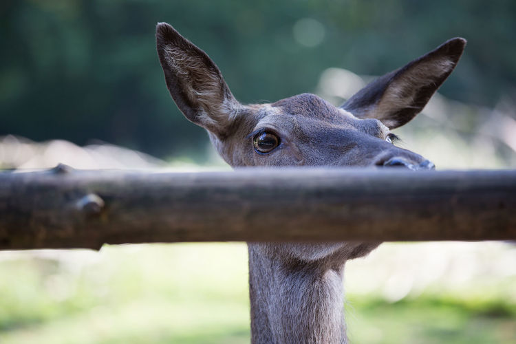 deer Deer Animal Head  Animal Themes Close-up Day Domestic Animals Focus On Foreground Looking At Camera Mammal Nature No People One Animal Outdoors Portrait The Week On EyeEm
