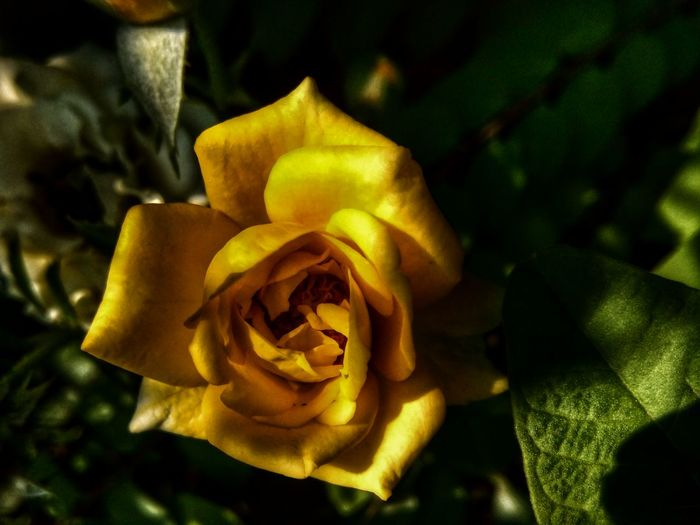 Ma rose Flower Nature Beauty In Nature Rose - Flower Growth Outdoors Yellow No People Close-up Plant