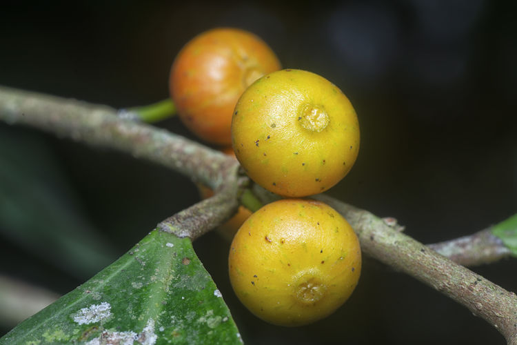 Close-up of fruits on tree