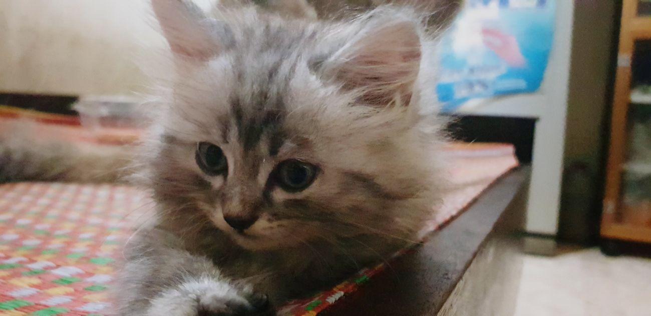 Pets Portrait Kitten Feline Domestic Cat Looking At Camera Whisker Persian Cat  Cute Close-up