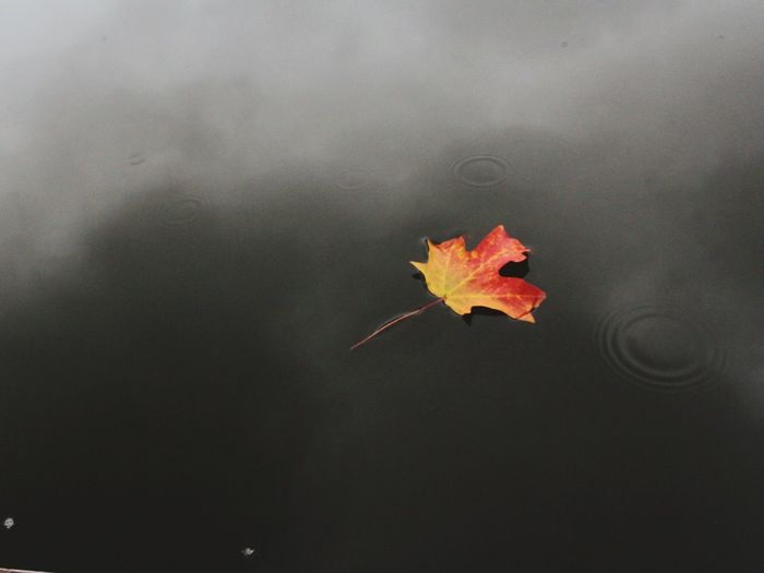 Close-up of maple leaf on water during autumn