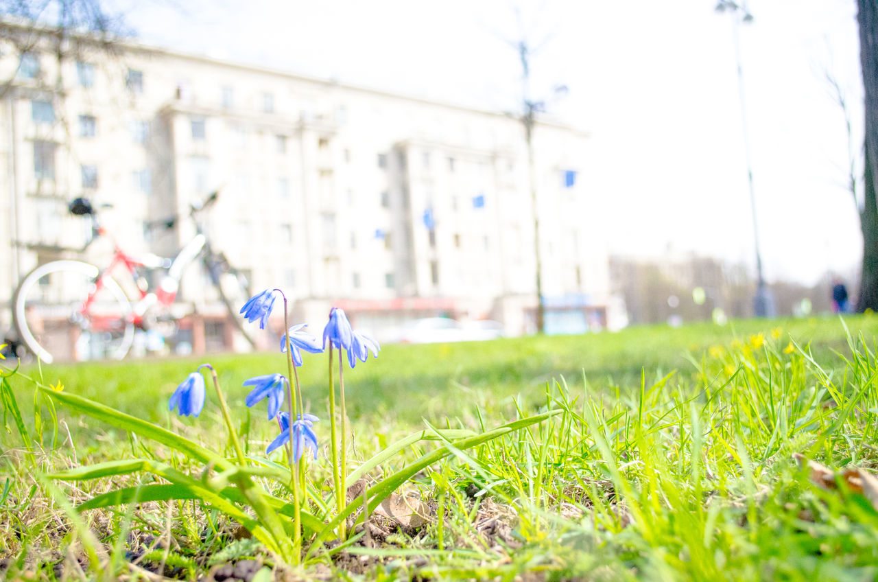 Blue Flowers Growing On Field Against Building