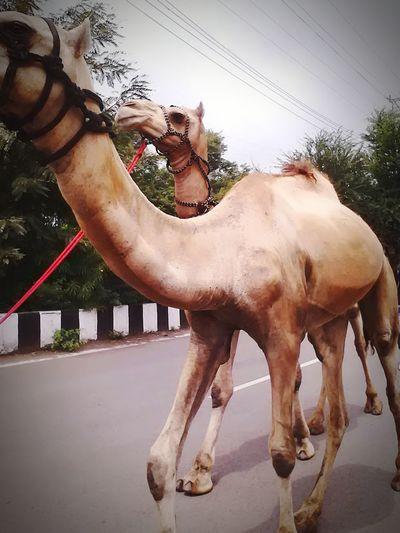 Streetphoto Streetsofindia Roadside Roadscenes Roadsidephotography Road Camel Riding Camels Camel Ride Animal Photography AnimaLs <3
