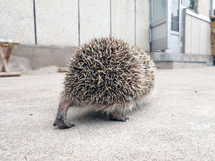 Rear view of hedgehog walking outdoors