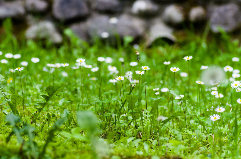 Daisies blooming on field