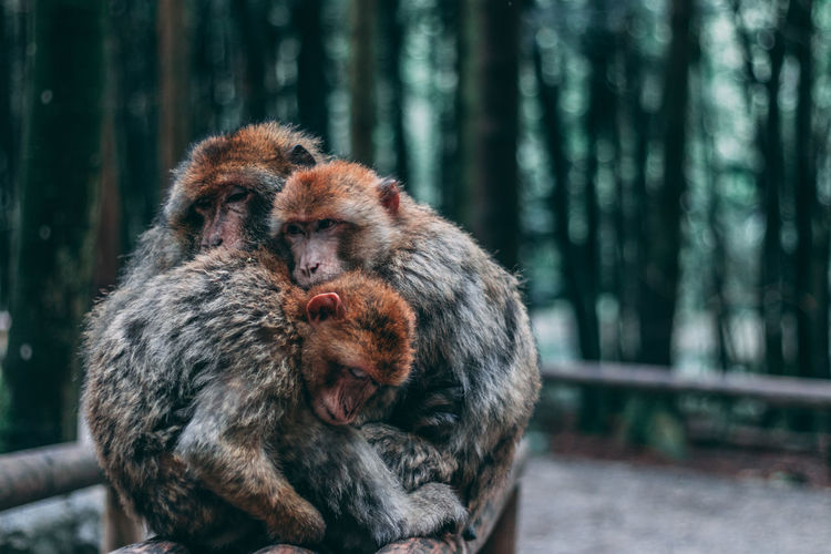 Monkeys embracing in forest