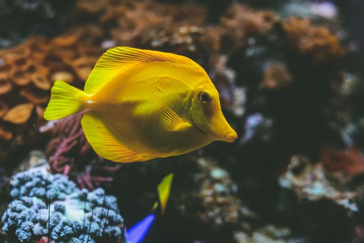 Close-up of yellow tang swimming in aquarium