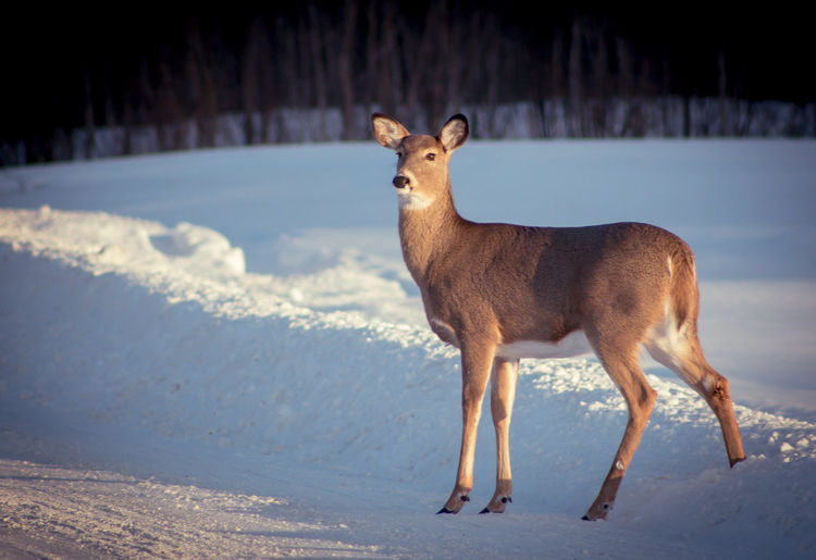 Deer standing on snow covered field