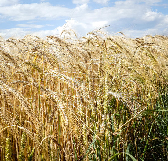 Close-up of wheat crops growing at farm
