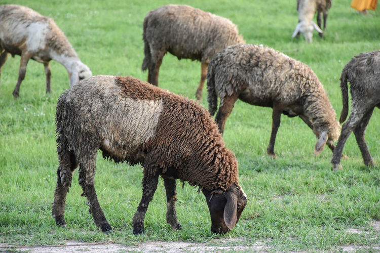 Side view of sheep grazing on field