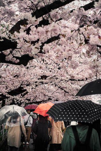 Sakura FUJIFILM X-T1 Fujifilm Umbrella Rain Sakura Day Real People Nature Lifestyles Outdoors