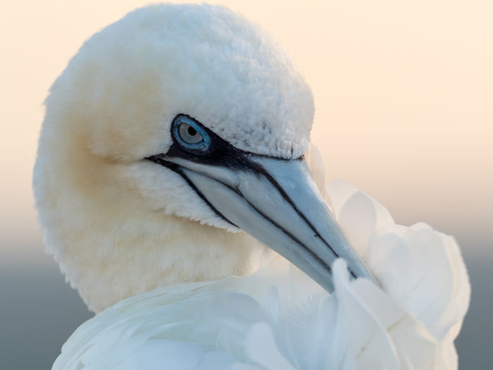 Gannet Portrait Bird Birding Animal Animal Themes Vertebrate One Animal Animals In The Wild Close-up Animal Wildlife White Color Beak Focus On Foreground Animal Body Part No People Animal Head  Nature Day Eye Outdoors Looking Away Beauty In Nature Animal Eye