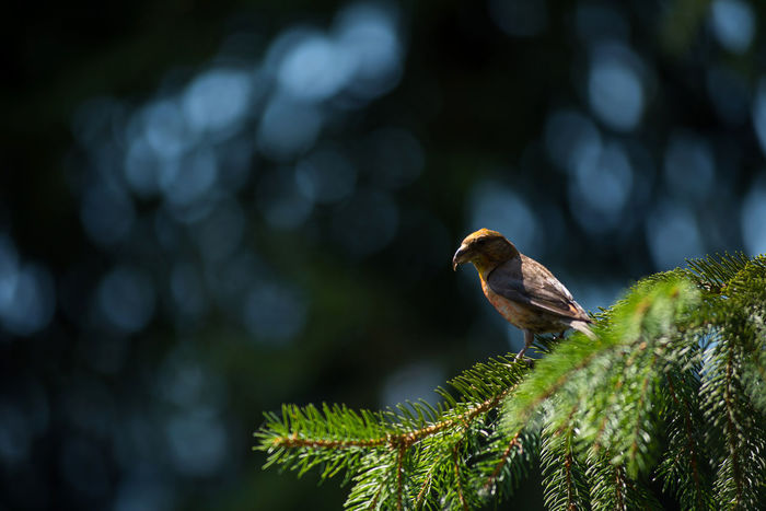 Red crossbill (Loxia curvirostra) a small passerine bird on a fir tree Birdwatching Green Loxia Curvirostra Passeriformes Tree Animal Themes Animal Wildlife Animals In The Wild Beauty In Nature Bird Close-up Crossbill Day Fir Focus On Foreground Forest Nature No People One Animal Outdoors Passerine Passerines Perching Small Spruce