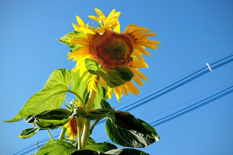 Photo essay, a day in the life August 21, 2016 Fairbury, Nebraska 35mm Camera A Day In The Life Beauty In Nature Blossom Camera Work Cerulean Blue Clear Sky Color Photography Composition Dramatic Lighting Flower Fragility Fujifilm_xseries Growth Look Up And Thrive Low Angle View Photo Essay Shoot Your Life Small Town America Sunflower Sunlight Yellow Yellow Flower