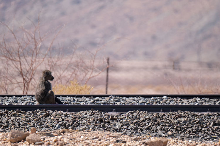 View of monkey sitting on railroad track