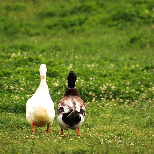 Compañeros de aventuras Bird Animal Themes Grass Duck Duckling