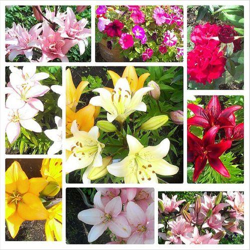 У нас сезон лилий и прочих ништячков... Thedatcha Summer Flowers Lily beautiful bestdaysofsummer